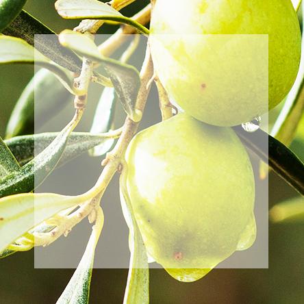 Liście oliwne